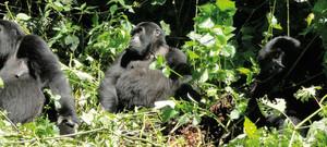 Gorillas im Wald