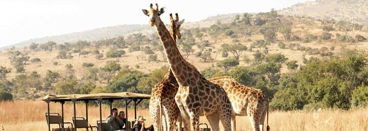 Giraffen im Krüeger Nationalpark
