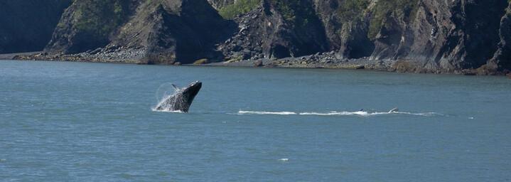 Alaska Reisebericht: Buckelwale im Kenai Fjords Nationalpark