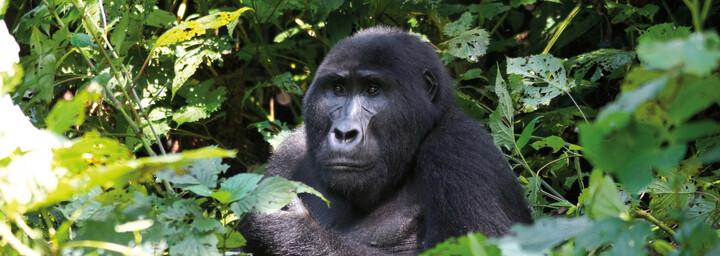 Gorilla im Bwindi Impenetrable Forest