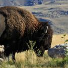 Rund um den Yellowstone inkl. Flug