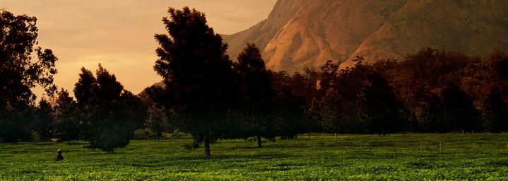 Teeplantage Mount Mulanje