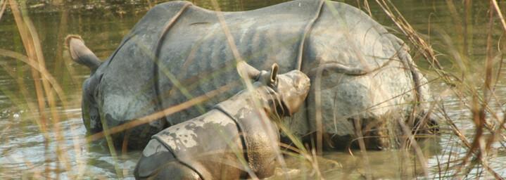 Nashörner im Royal Chitwan Nationalpark in Nepal