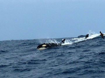 Orcas im Südpazifik südlich von Bremer Bay