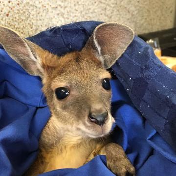 Reisebericht Australien: Känguru