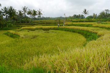 Reisebericht Bali: Reisfeld