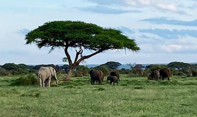 Eefanten im Amboseli Nationalpark, Kenia