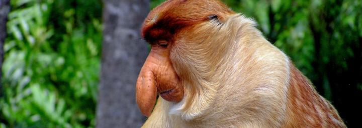 Langnasen Affe auf der malaiischen Insel Borneo