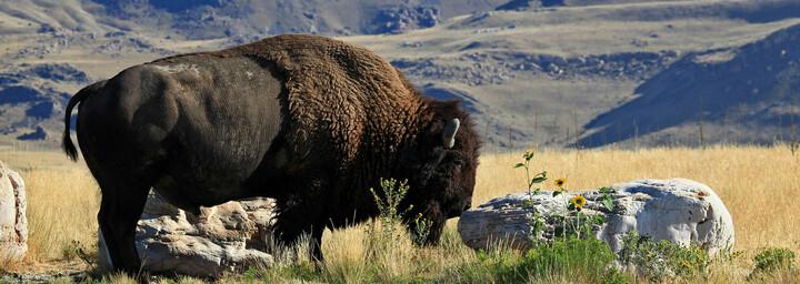 Bison auf Antelope Island