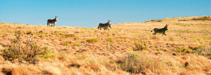 Bergzebras in der Karoo