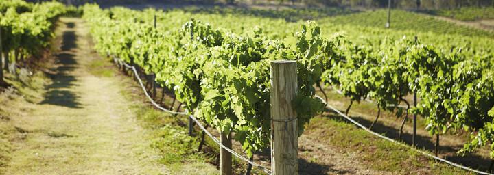 Weinreben im Hunter Valley