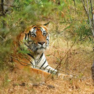 Indiens Wildlife