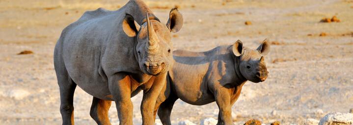 Nashörner in Namibia