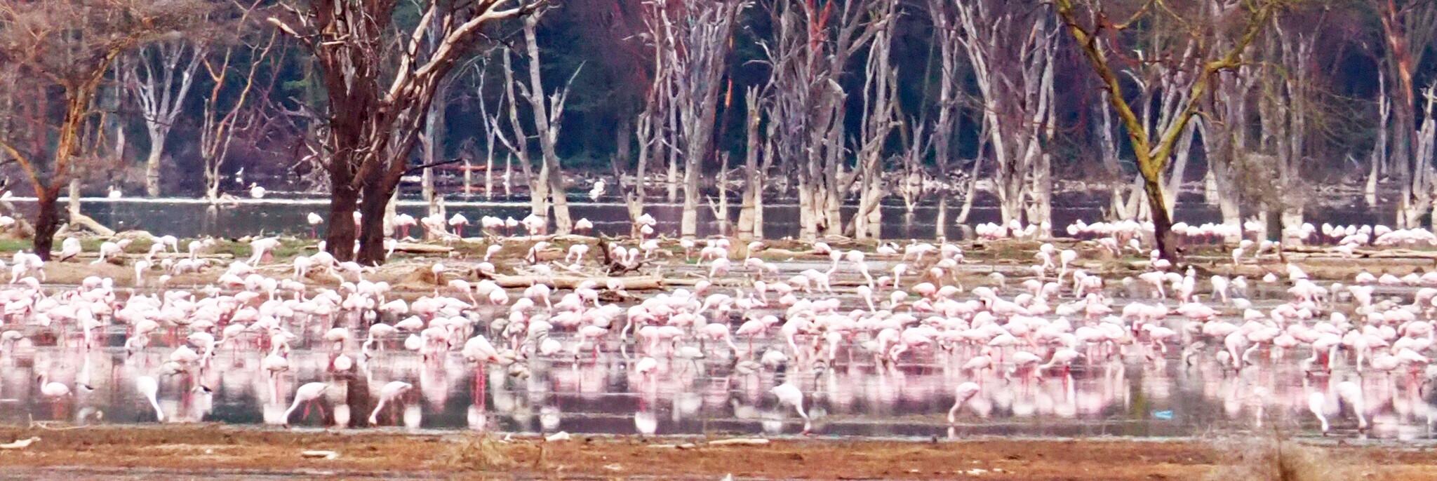 Reisebericht Kenia - Flamingos am Lake Nakuru