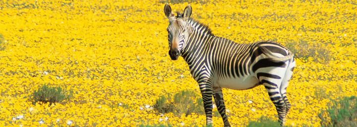Zebra Cederberg Südafrika