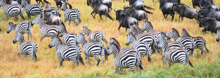 Zebra- und Büffelherde im Serengeti Nationalpark