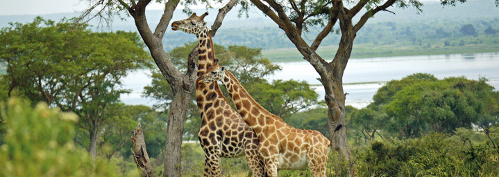 Murchison Falls Nationalpark - Rothschildgiraffen