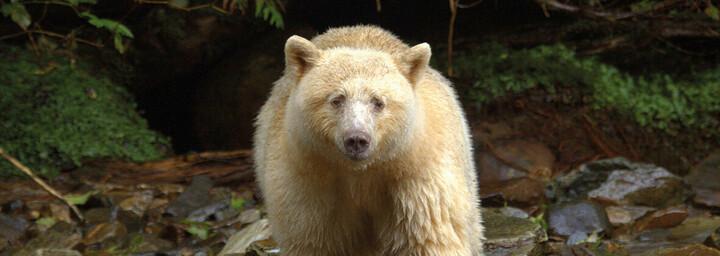 Spirit Bear Lodge Spirit Bär
