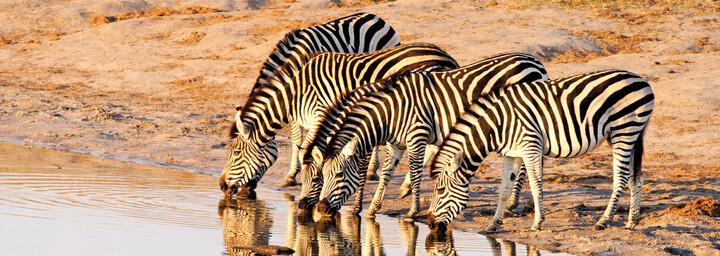 Hwange Nationalpark Zebras
