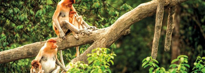 Nasenaffen in Sabah