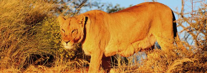Löwe in Kalahari Wüste