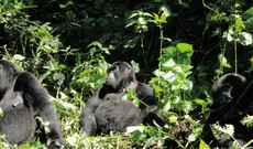Auf den Spuren der Berggorillas