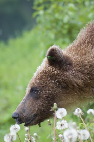 Reisebericht Yukon: Grizzly nahe Haines