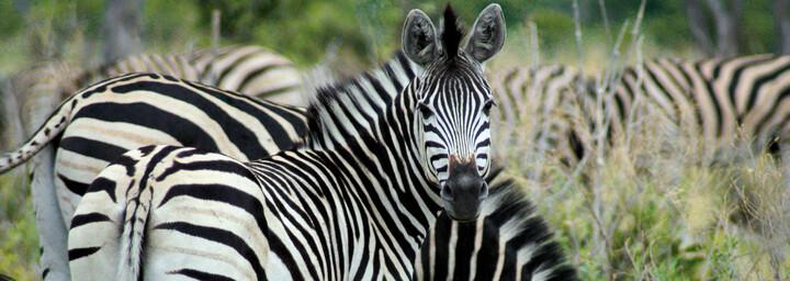 Zebra im Mormi Wildreservat in Botswana