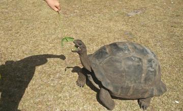 Riesenschildkröte auf Curieuse Island
