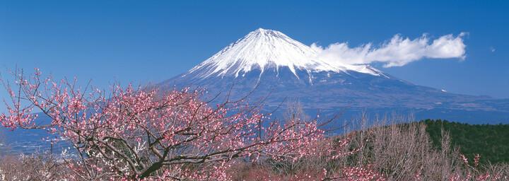 Vulkan Fuji mit Kirschbaum