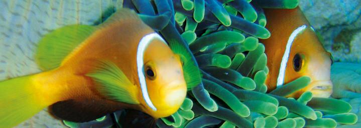 Anemonenfische Unterwasserwelt