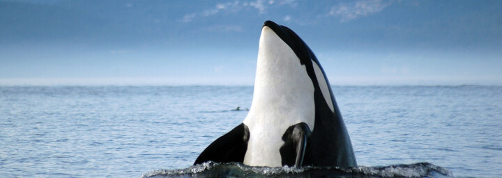 Orca Vancouver Island / © Christina Craft