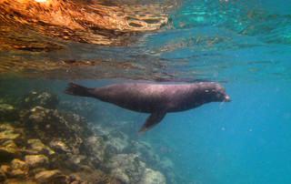 Galápagos Reisebericht - Santa Fé Seelöwe
