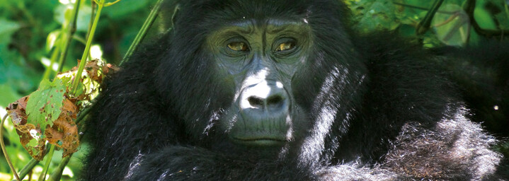 Gorilla im Bwindi Impenetrable Forest