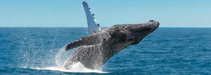 Walbeobachtung Queensland