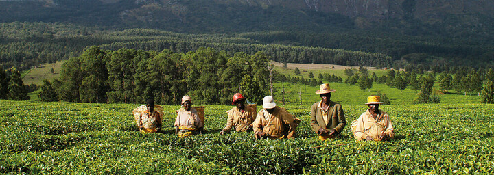 Mulanje Mountains Teeplantage Malawi