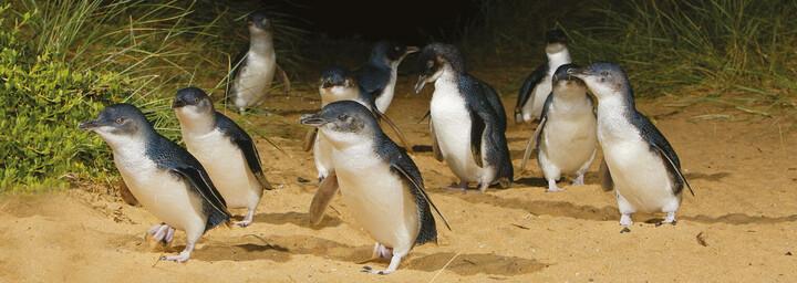 Pinguine auf Philip Island