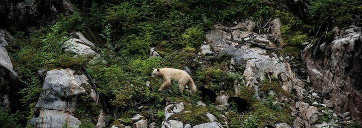 Spirit Bear Mutter mit Jungen