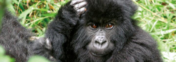 Baby Gorilla in Ruanda
