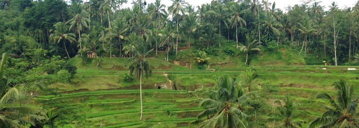 Bali Reisebericht - Reisterrassen auf Bali