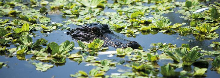 Alligator Everglades Florida