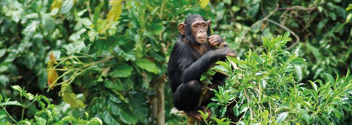 Schimpanse in seiner natürlichen Umgebung in Uganda