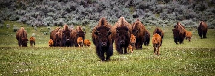 Bisonherde im Yellowstone Nationalpark