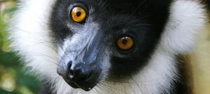 Lemur im Baum
