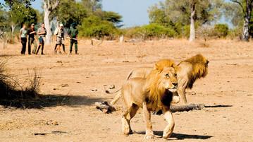 Löwenspaziergang Sambia