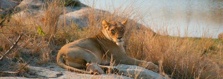 Löwe am Wasserloch im Krüger Nationalpark, Südafrika