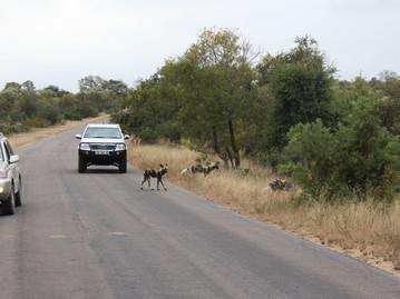 Reisebericht Südafrika - Afrikanische Wildhunde am Straßenrand