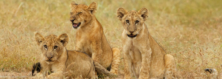 Selous Wildreservat - Löwen