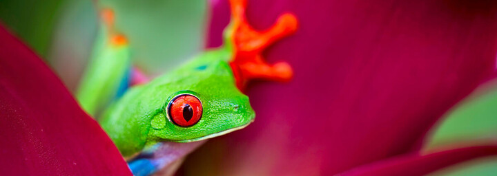 Frosch Costa Rica