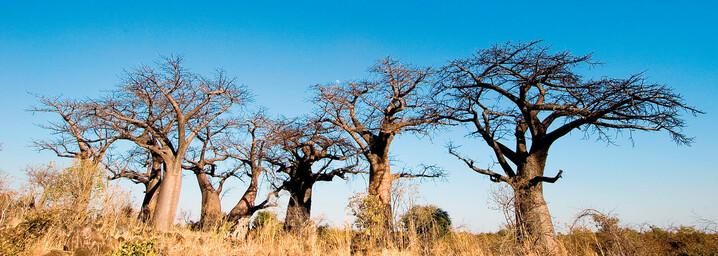 Bäume Baobab Planet Botswana